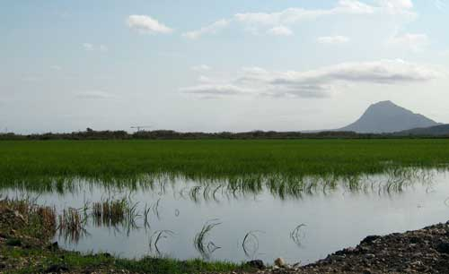 Rice fields of valencia