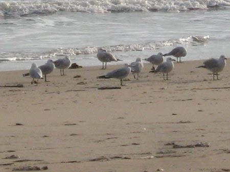 Audouin´s Gulls