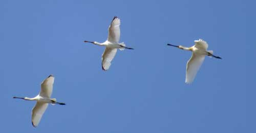 Spoonbills-in-flight