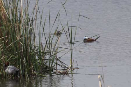 White Headed Duck with Common Pochard