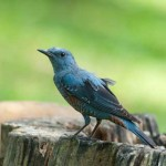 Blue-Rock-Thrush