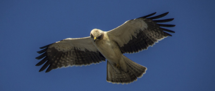 Booted-Eagle-1195