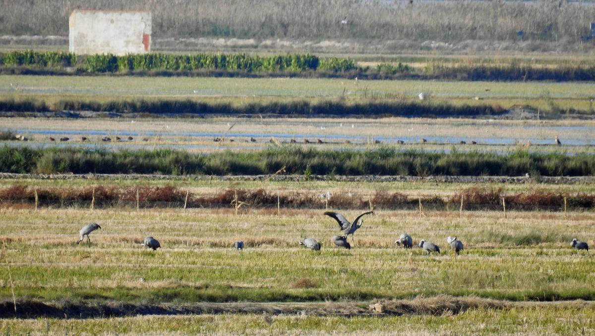 Distant views of a herd of Cranes
