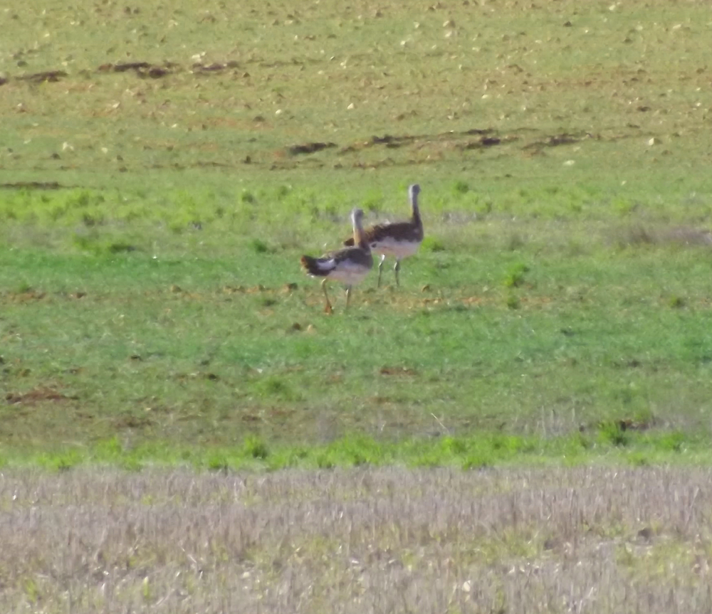 Spain is home to 60% of the global population of Great Bustard - the World´s heaviest flying bird