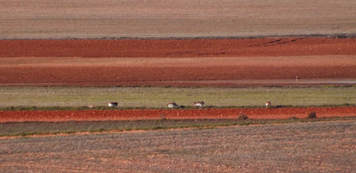 Distant views of Great Bustards