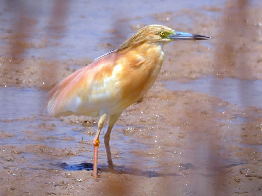 Squacco Heron photographed near Valencia.  Image kindly provided by Stacey Bergman