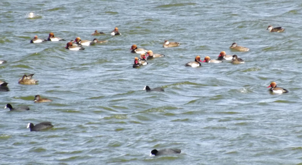Red Crested Pochards & Common Coots