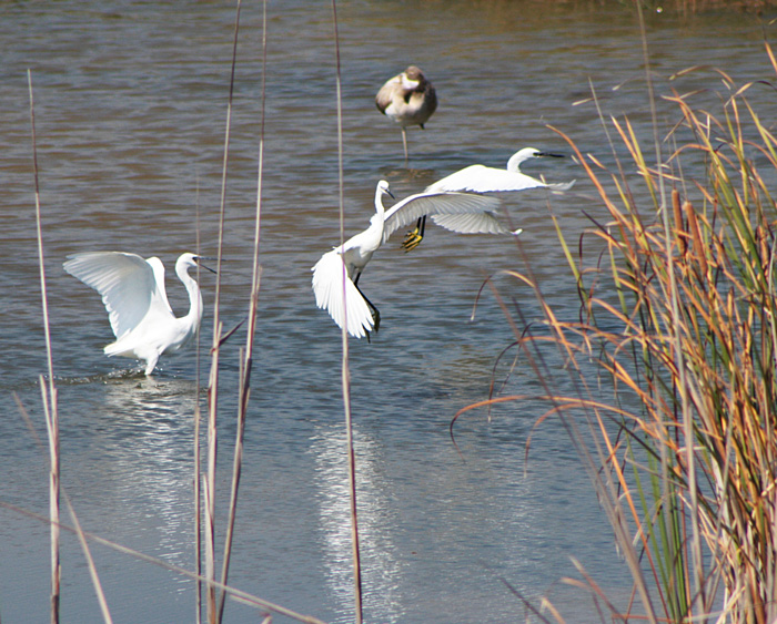 Little Egrets with Greater Flamingo