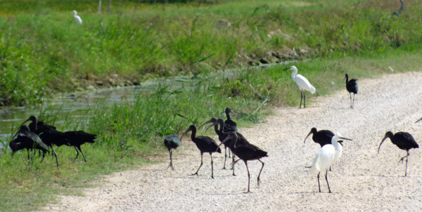 Glossy Ibis and Little Egret