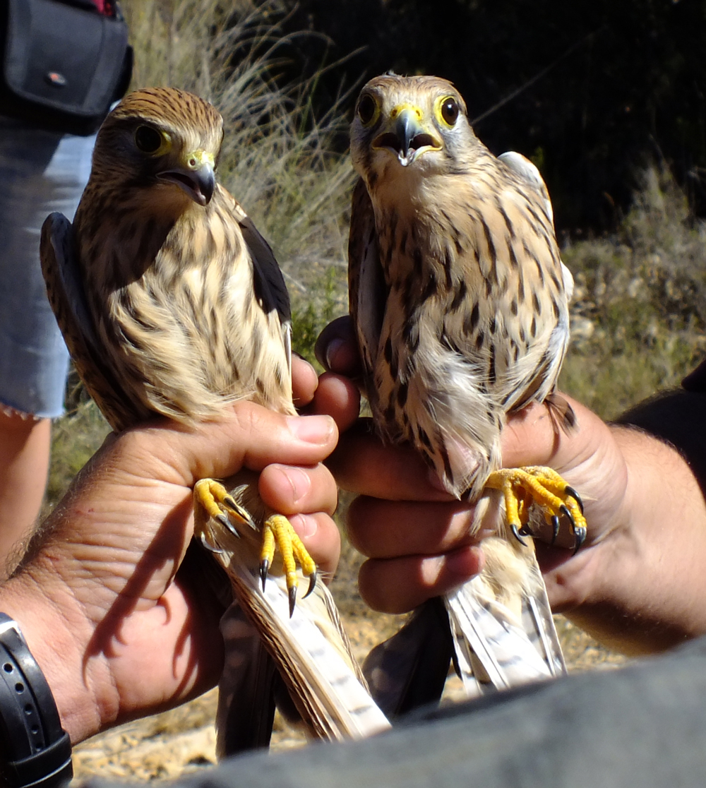 Kestrels ready to be released