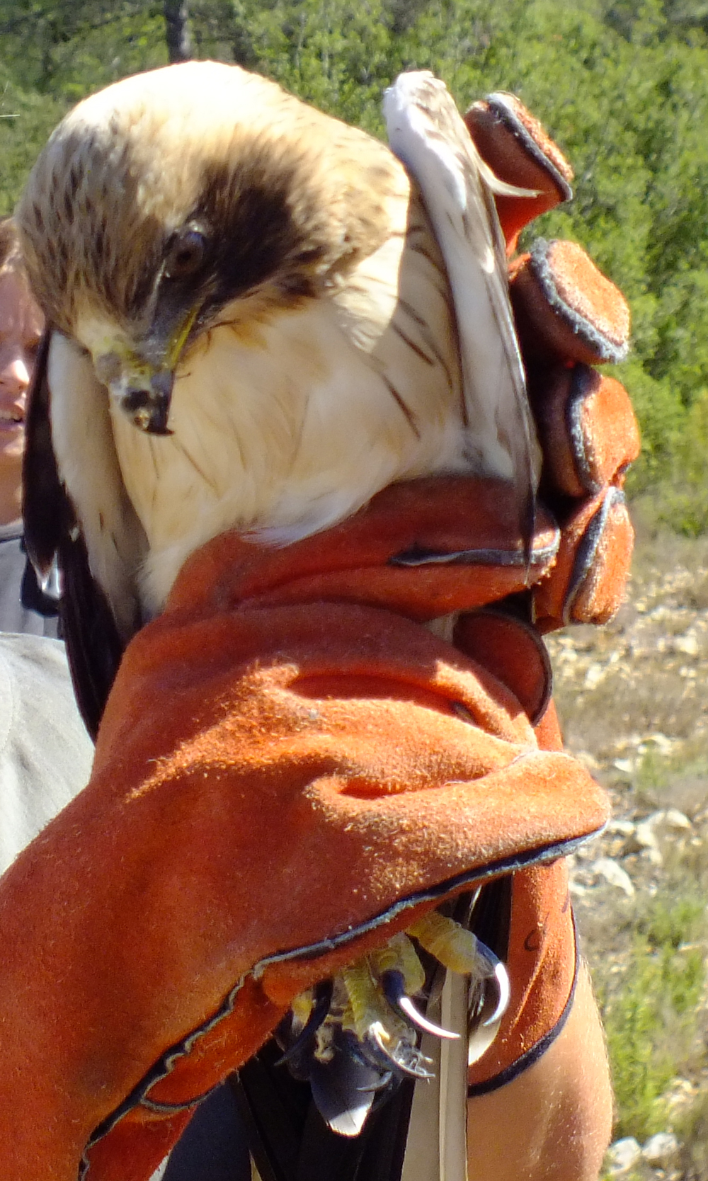 A Booted Eagle about to be released