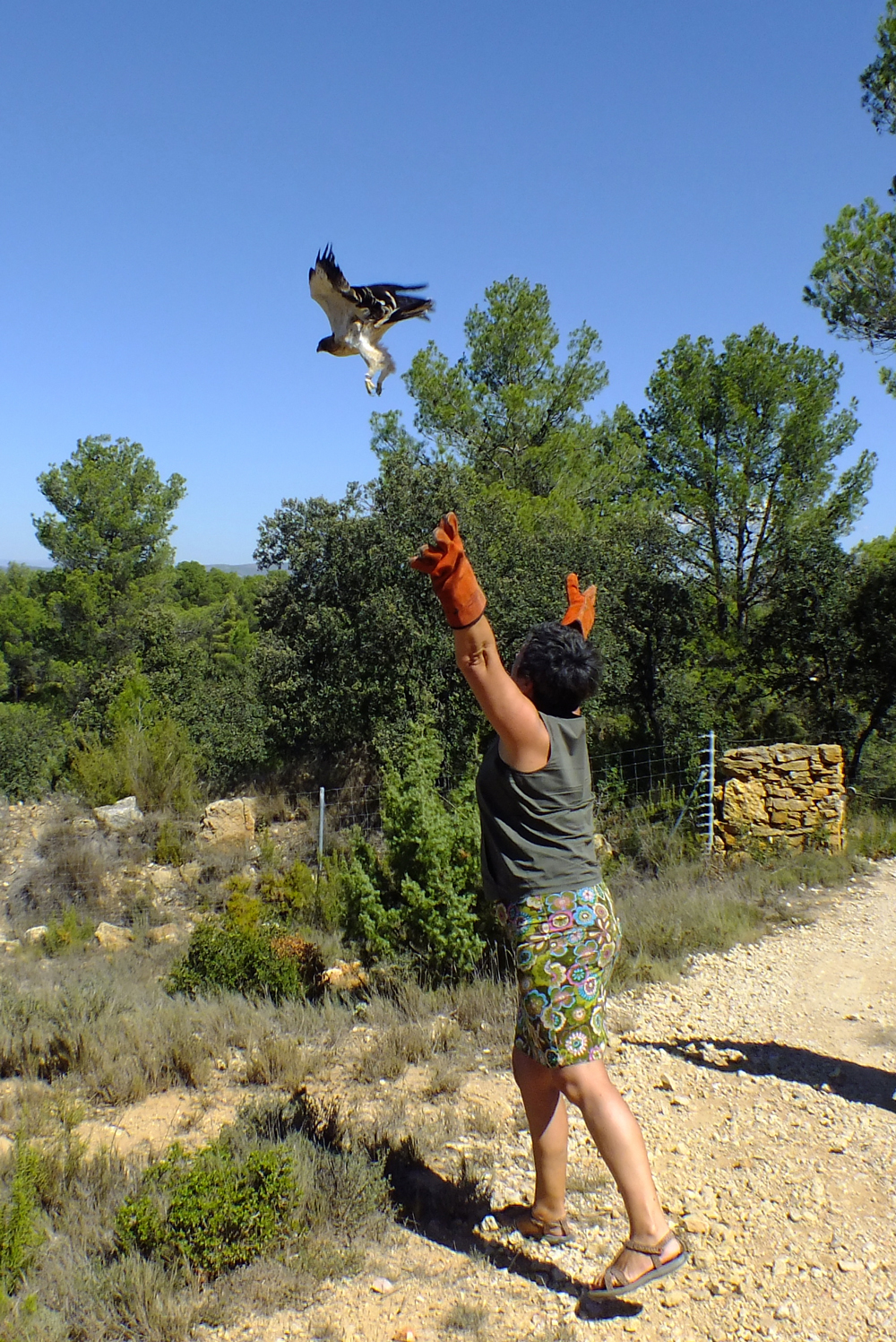 The moment of release for the Booted Eagle
