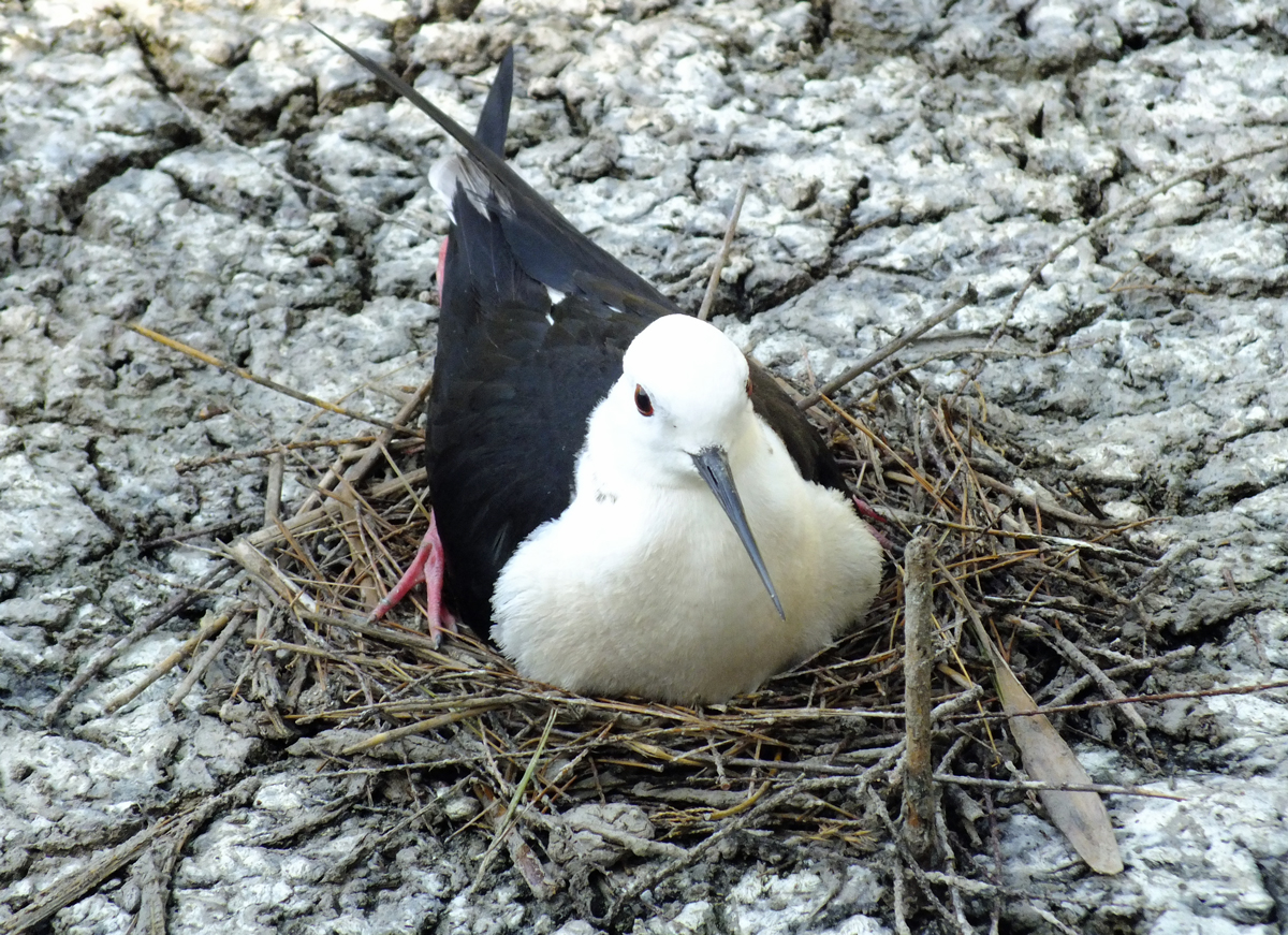 Nesting Black-winged Stilt