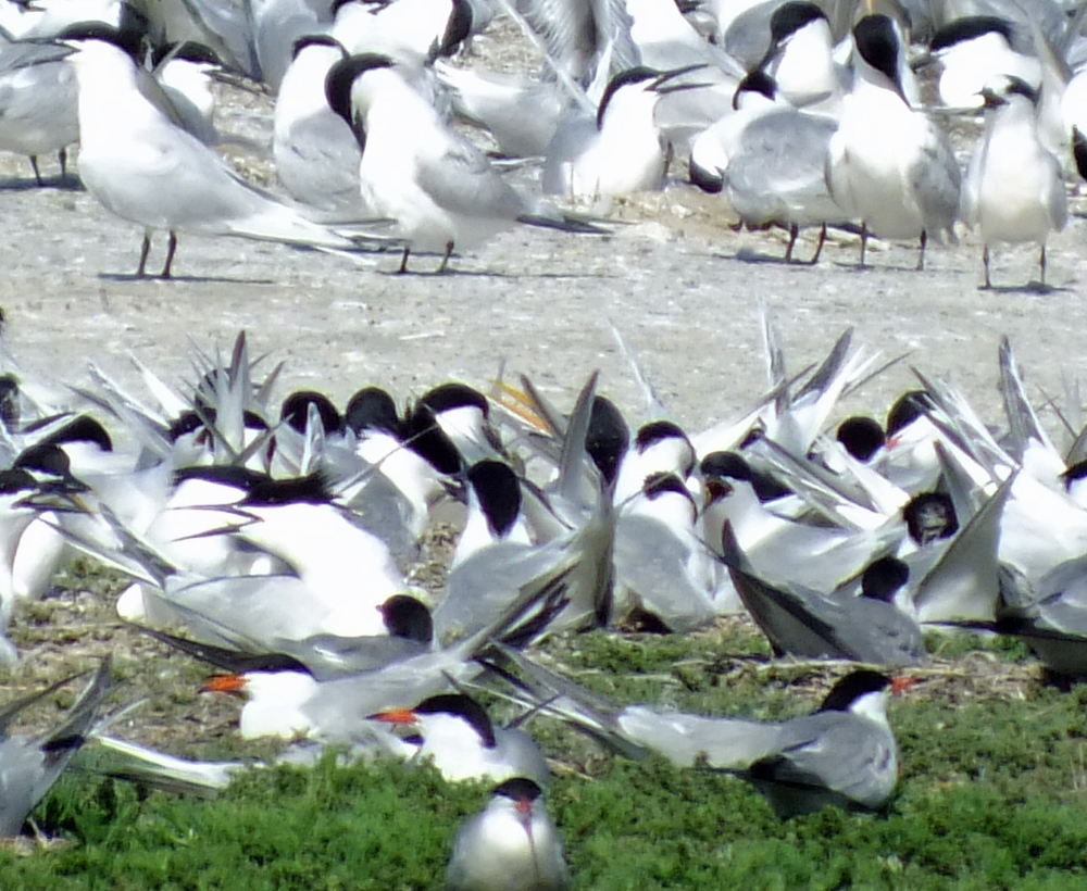The hybrid tern is just visible, it´s long yellow bill protruding above the heads of the surrounding Sandwich Terns