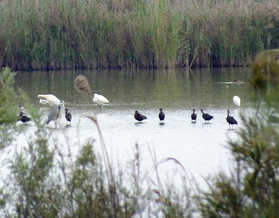 Glossy Ibis, Flamingoes, Spoonbill, Avocet
