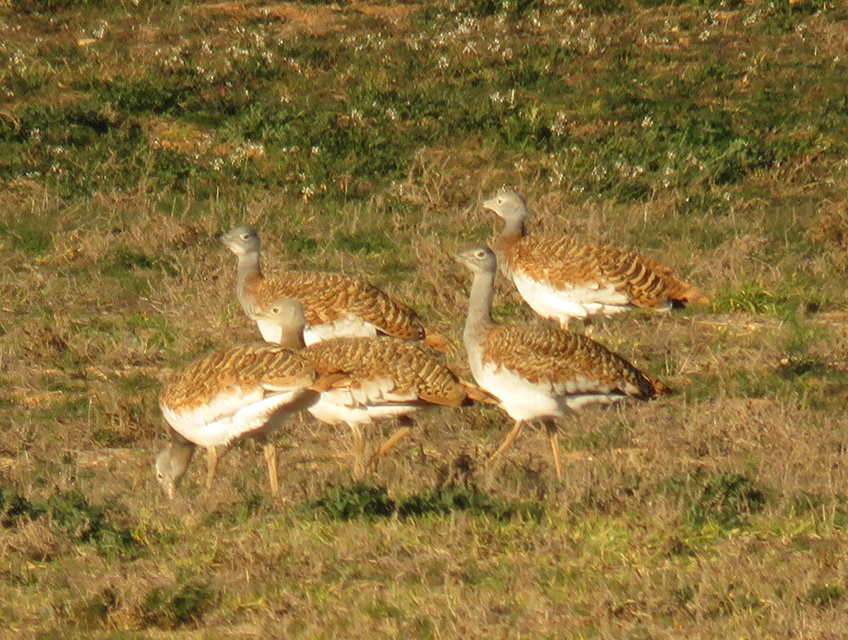 Great Bustards in Spain