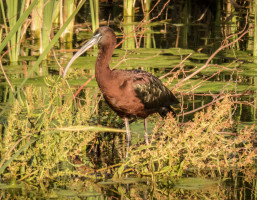 Two Day Guided Birding Trip to the Wetlands of Valencia