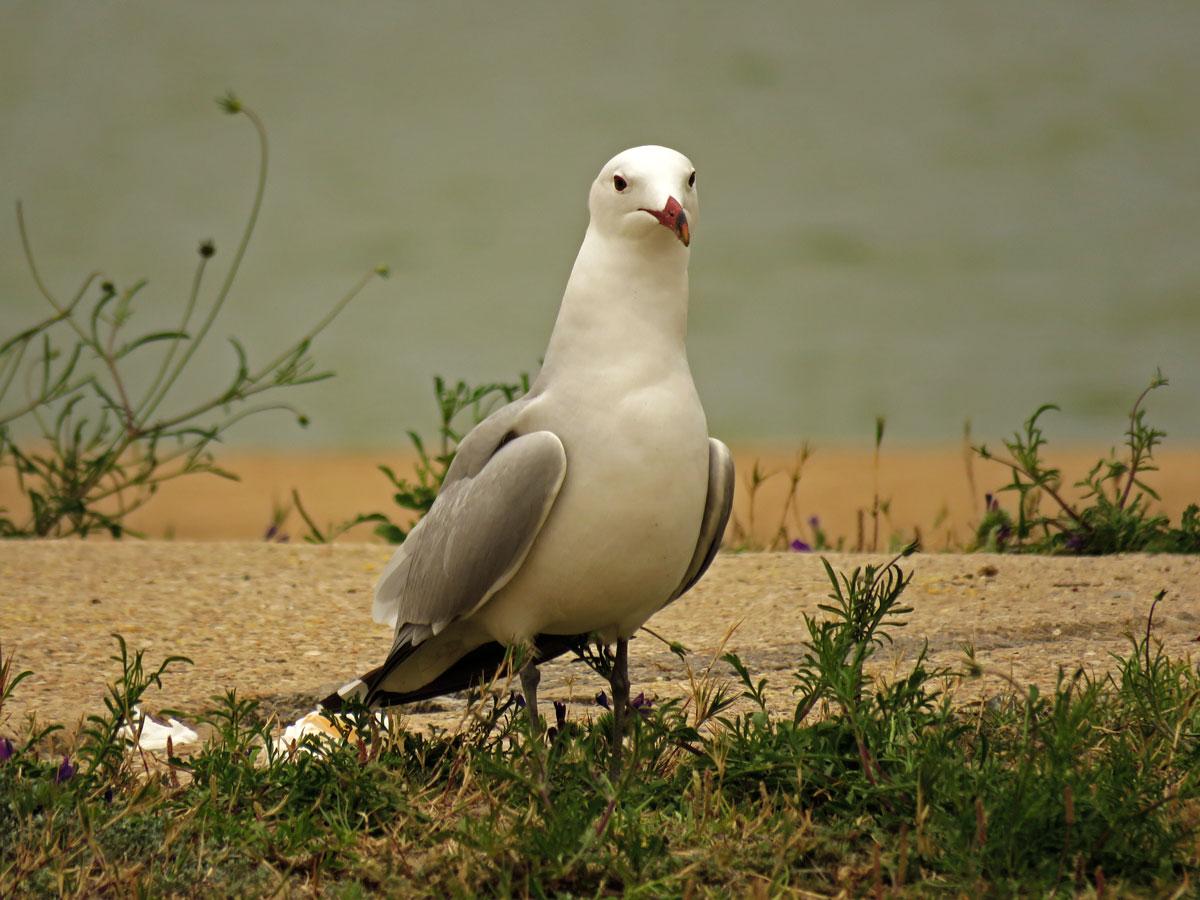 Audouin Gull