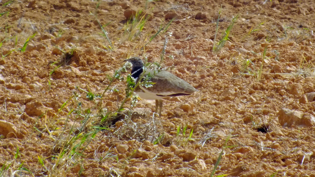 Little Bustard in Spain