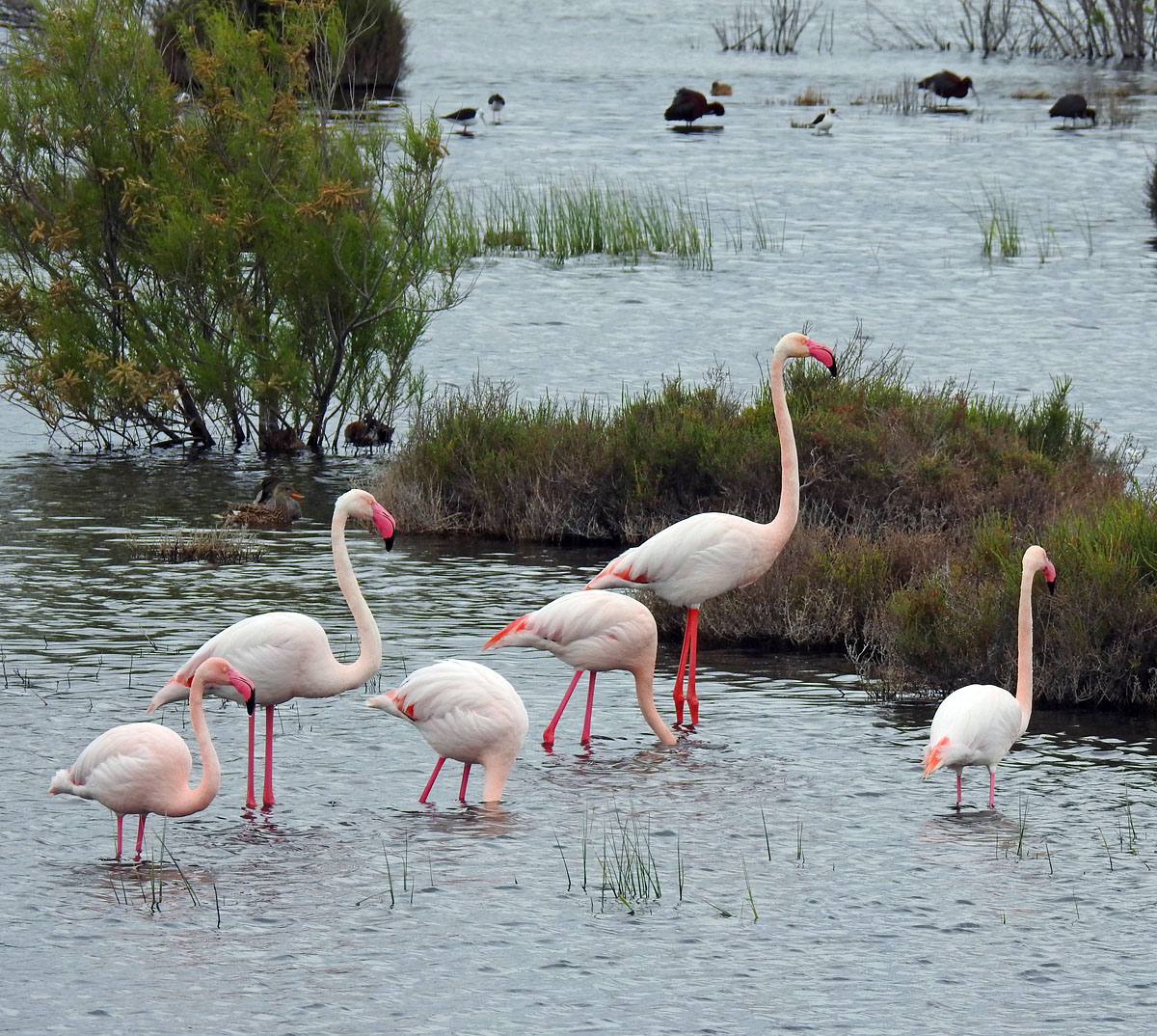 Greater Flamingo with Glossy Ibis and Black Winged Stilt in the background