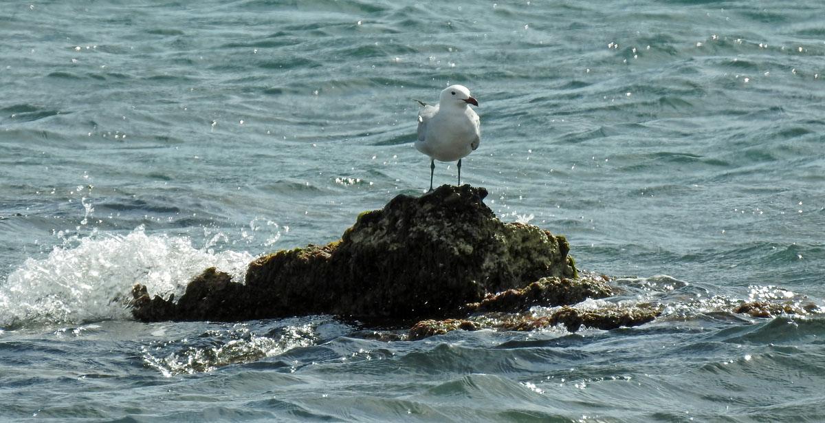 Audouin´s Gull in Valencia
