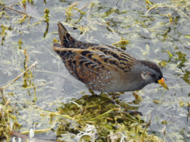 Spotted Crake in Valencia