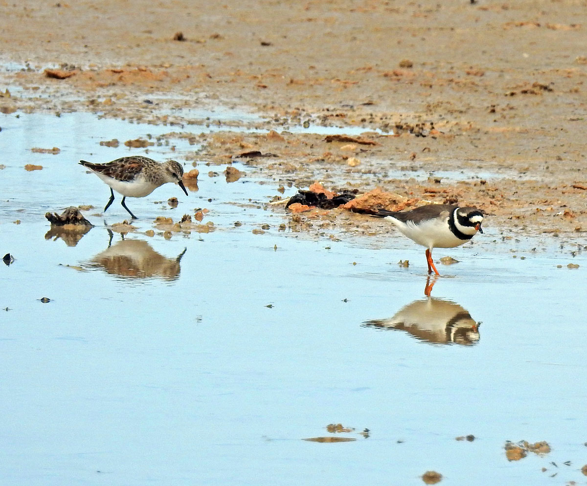 Ringed Plover with Little Stint