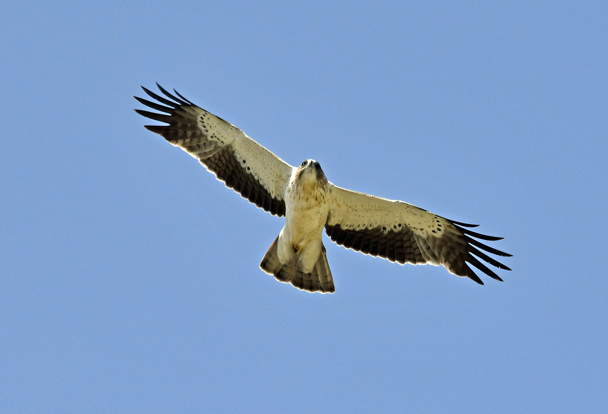 Booted Eagle - Photo kindly provided by Richard Smth