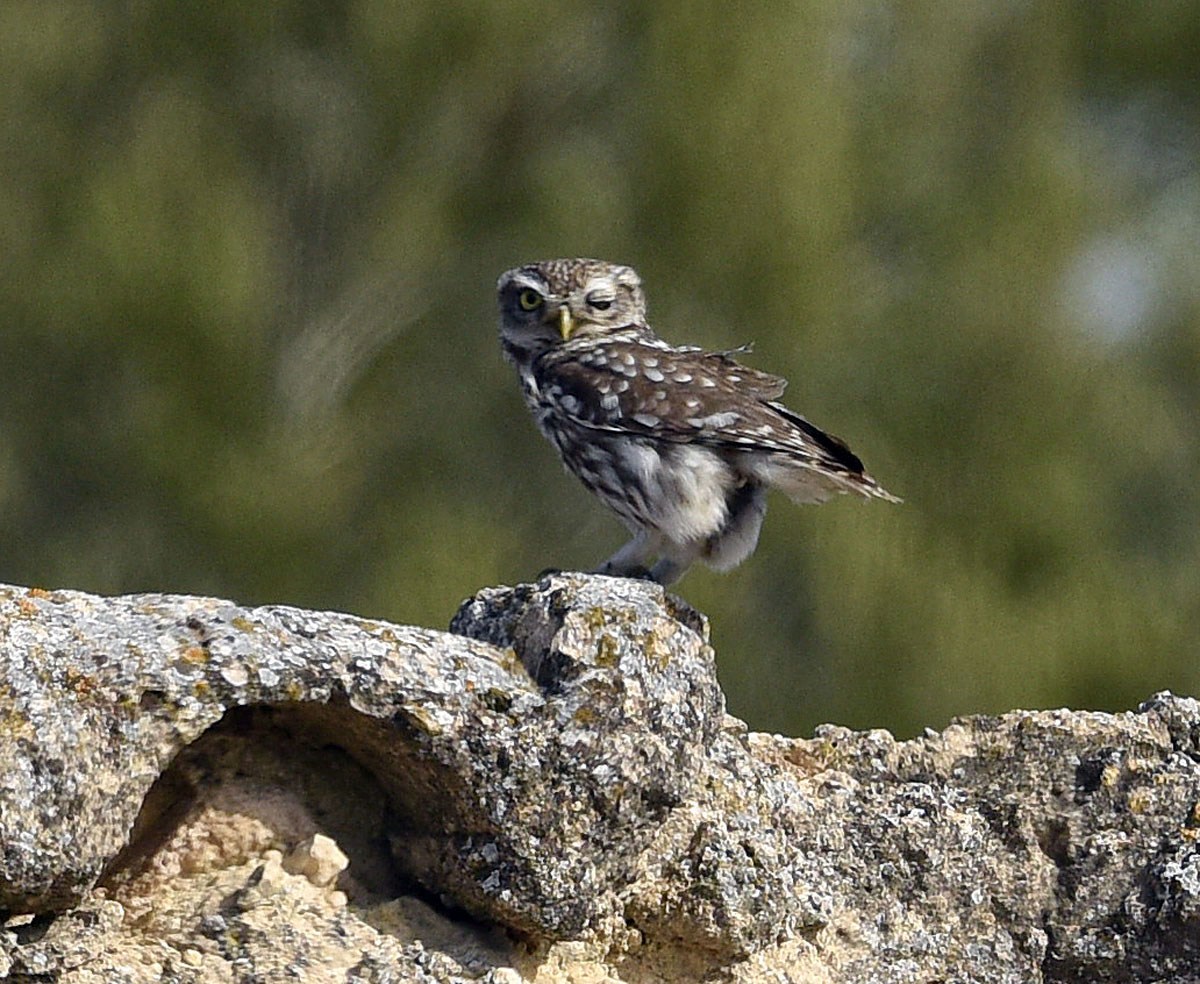 Little Owl Photo kindly provided by Richard Smith