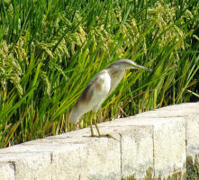 Bird watching trip to Albufera de Valencia