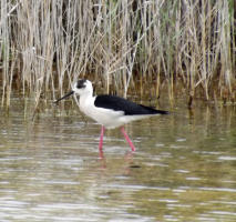 Birding at Albufera & Valencia´s Coastal Wetlands