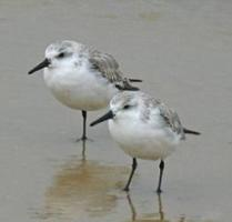 Sanderling Census of La Safor