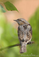 Wryneck's Galore